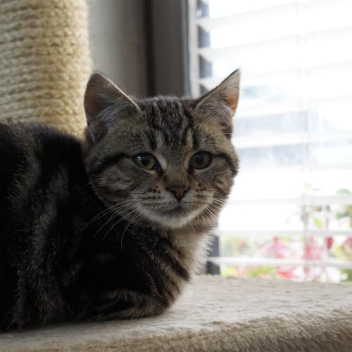 Velma - Domestic Short Hair Cat