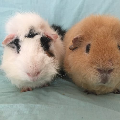 Davey and Bart - Abyssinian x Rex Guinea Pig