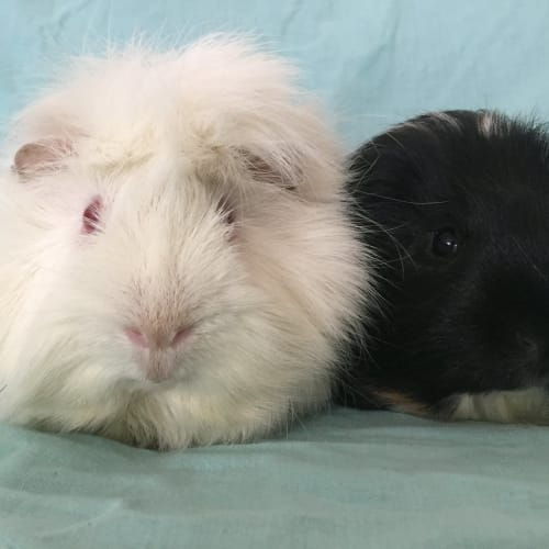 Fluffbutt and Mickey -  Guinea Pig