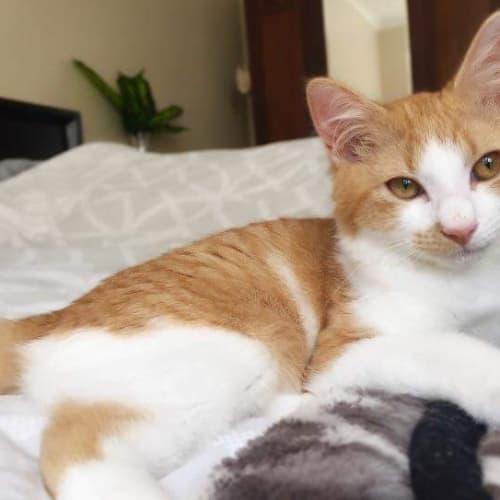 Sahara - Domestic Medium Hair Cat