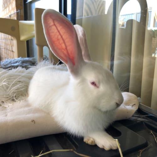 Taylor - Californian x New Zealand White Rabbit