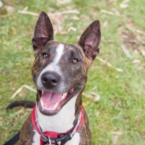 Jessie (& Bindi) - Bull Terrier Dog