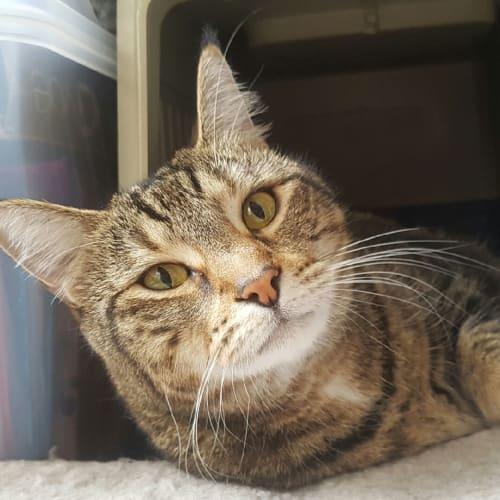 Zohey (& Mango) - Domestic Short Hair Cat