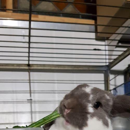 Dexter - Lop Eared Rabbit