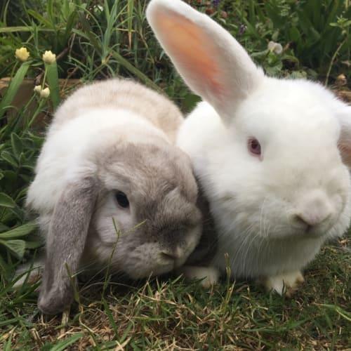 Spencer & Polly - Mini Lop Rabbit