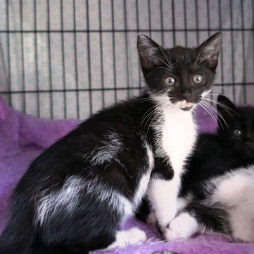 Yana - Domestic Short Hair Cat