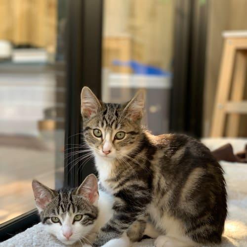 John & Paul (Located in Abbotsford) - Domestic Short Hair Cat