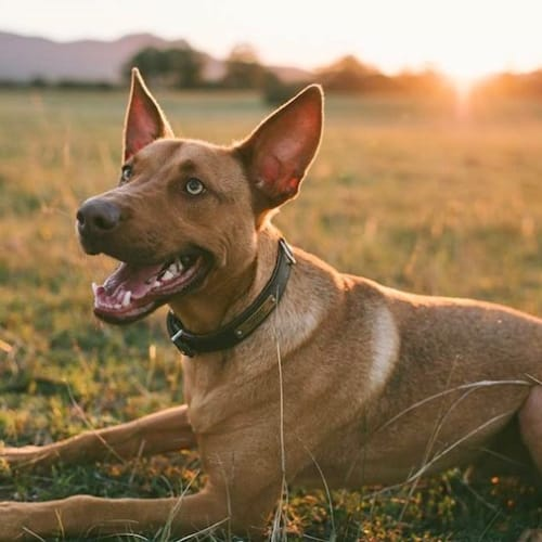 Murphy - Kelpie Dog