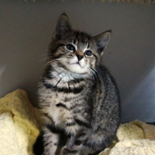 Xanthea - Domestic Short Hair Cat