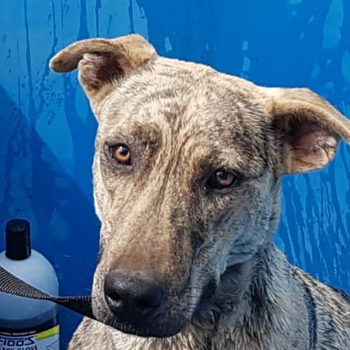 Charlotte - Greyhound Dog