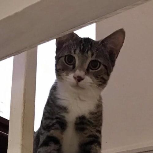 Webber - Domestic Short Hair Cat