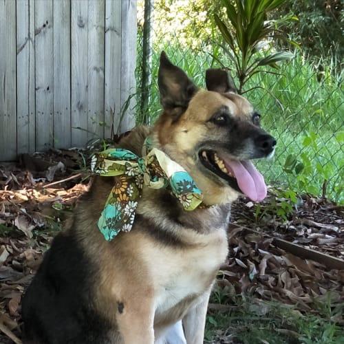 Tia - Kelpie x Rottweiler x German Shepherd Dog