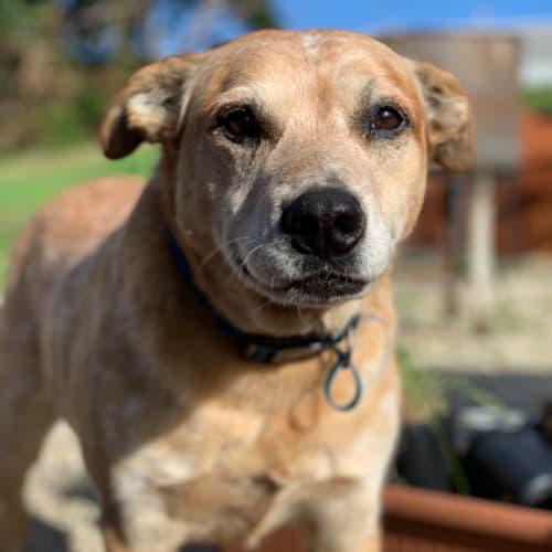 Oscar - Red Heeler Dog