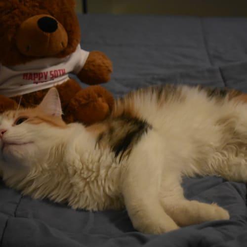 8 Mth Old Cuddlebug Amber - Angora x Domestic Medium Hair Cat