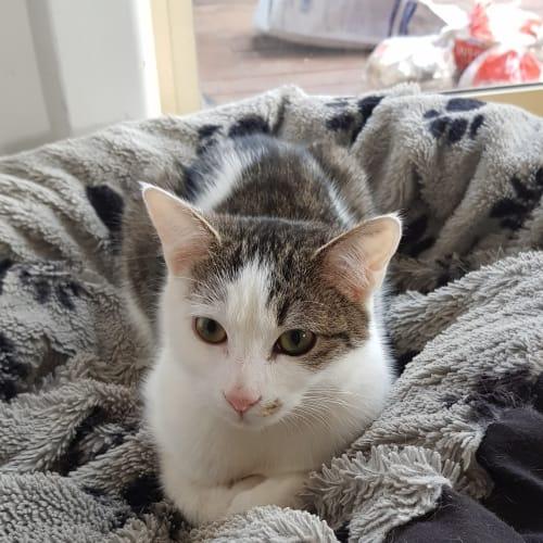 Storm - Domestic Short Hair Cat