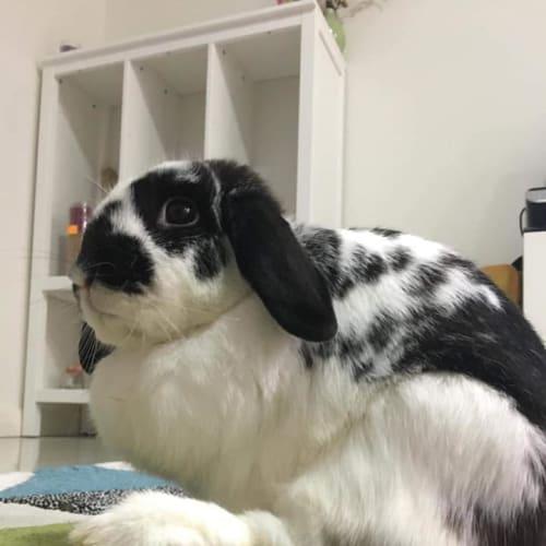 Mit and Hip - Mini Lop Rabbit
