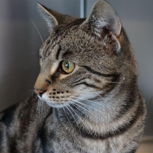 Micah - Domestic Short Hair Cat