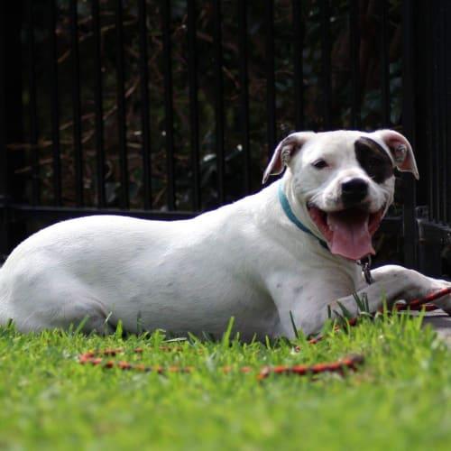 Elky  - Staffy Dog