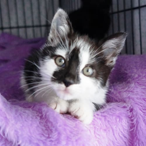 Yale - Domestic Short Hair Cat