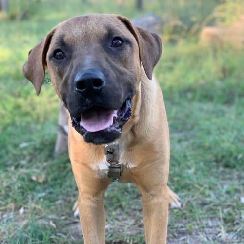 Leroy - Mastiff Dog