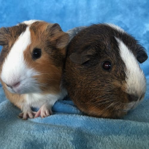 Bindi and Cappuccino - Smooth Hair Guinea Pig