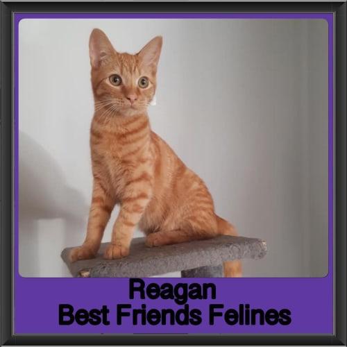 Reagan  - Domestic Short Hair Cat