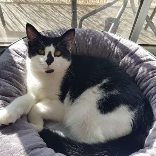 Fabulous Finn - Domestic Short Hair Cat