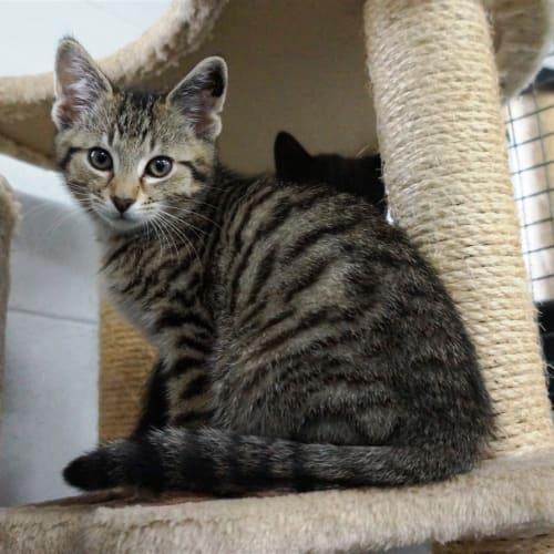 Xander - Domestic Short Hair Cat