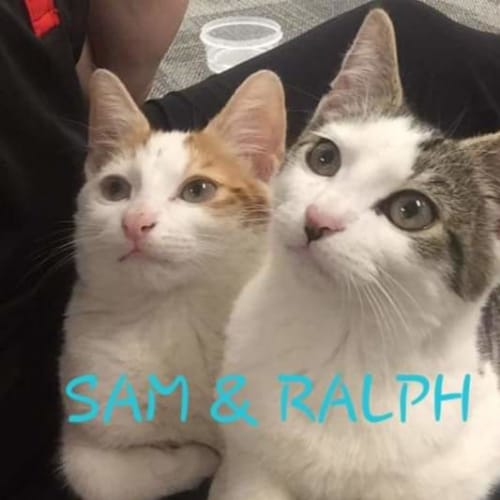 Sam & Ralph - Domestic Short Hair Cat