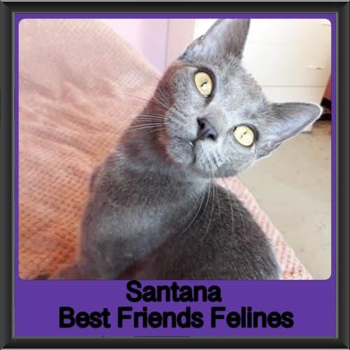 Santana  - Domestic Short Hair Cat