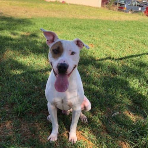 Marshall - Staffy x Cross breed Dog