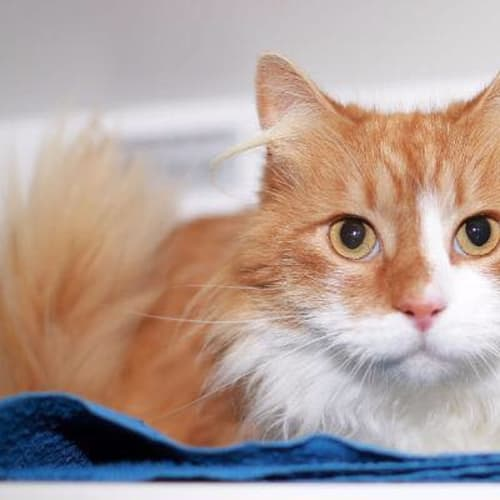 Cash -  Meet me in Cat Lounge/Neko HQ Preston - Domestic Medium Hair Cat