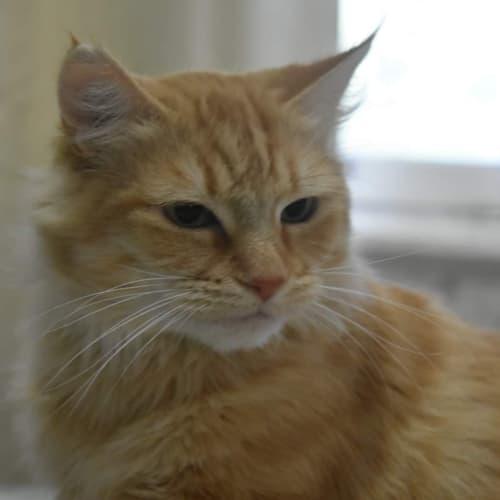 Tangerine - Meet Me at Pet Stock in Eltham - Domestic Medium Hair Cat