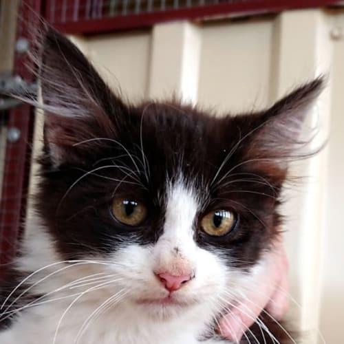 Queenie - Domestic Medium Hair Cat