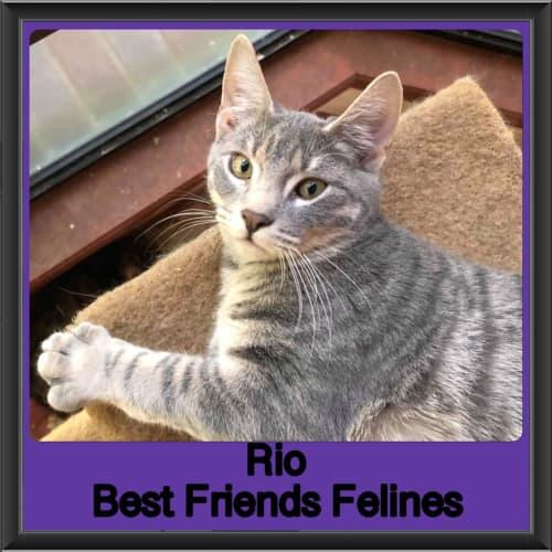 Rio  - Domestic Short Hair Cat