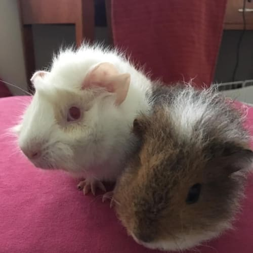 Rocket and Cricket  - Abyssinian x Texel Guinea Pig