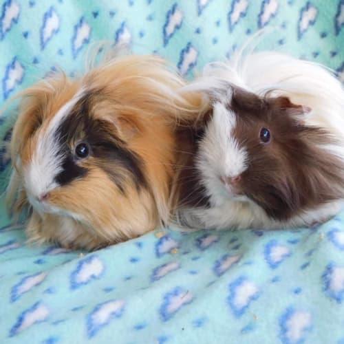 Ellen (caramel) and Portia  - Peruvian Guinea Pig