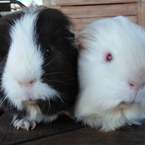 Rocky (Brown) and Milko -  Guinea Pig