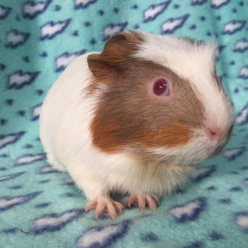 Esme - Smooth Hair Guinea Pig