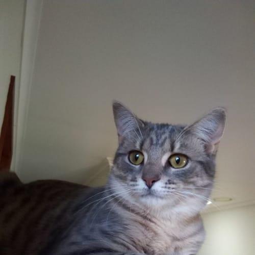 Penrite (Located in Cranbourne North) - Domestic Short Hair Cat