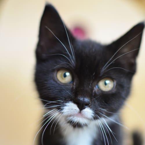 Astrix - Domestic Medium Hair Cat