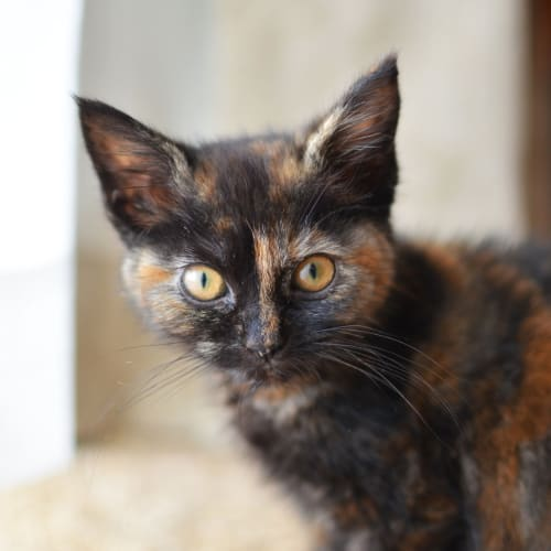 Spice - Domestic Medium Hair Cat