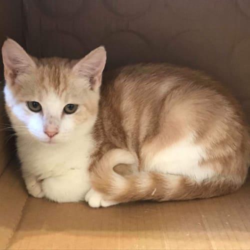 Flame  - Domestic Short Hair Cat