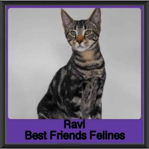 Ravi  - Domestic Short Hair Cat