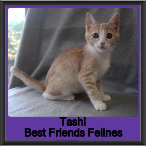 Tashi  - Domestic Short Hair Cat