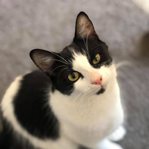 Maggie 💖 - Domestic Medium Hair Cat