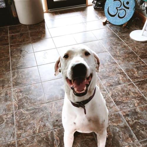 Simon - Bull Arab x Great Dane Dog
