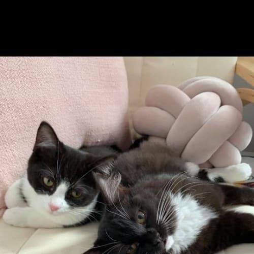 Onyx - Domestic Medium Hair Cat