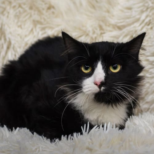 Astro **2nd Chance Cat Rescue** - Domestic Long Hair Cat
