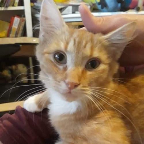 Glorious Tizer! - Domestic Short Hair Cat